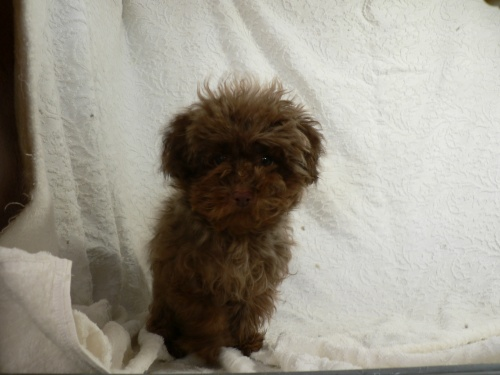 トイプードルの子犬(ID:1232911076)の1枚目の写真/更新日:2017-03-24