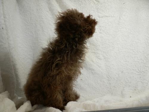 トイプードルの子犬(ID:1232911076)の2枚目の写真/更新日:2017-03-24