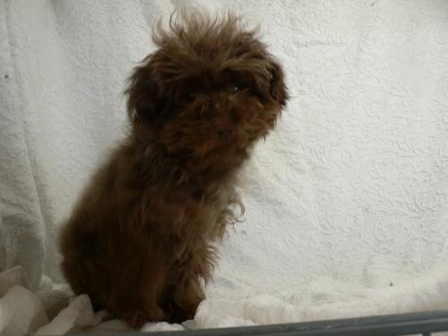 トイプードルの子犬(ID:1232911076)の3枚目の写真/更新日:2017-03-24