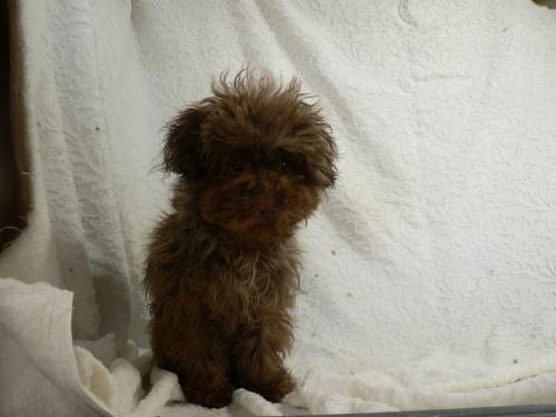トイプードルの子犬(ID:1232911076)の4枚目の写真/更新日:2017-03-24