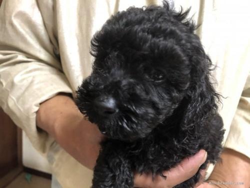 トイプードルの子犬(ID:1232911078)の1枚目の写真/更新日:2017-05-15