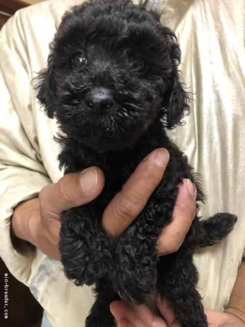 トイプードルの子犬(ID:1232911078)の2枚目の写真/更新日:2017-05-15