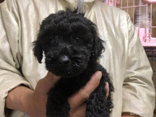 トイプードルの子犬(ID:1232911078)の3枚目の写真/更新日:2017-05-15