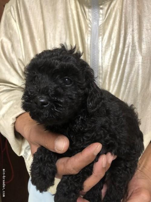 トイプードルの子犬(ID:1232911078)の4枚目の写真/更新日:2017-05-15