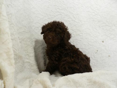 トイプードルの子犬(ID:1232911080)の1枚目の写真/更新日:2017-05-16
