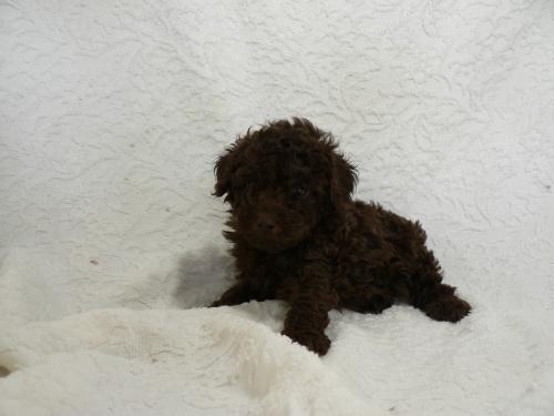 トイプードルの子犬(ID:1232911080)の2枚目の写真/更新日:2017-05-16