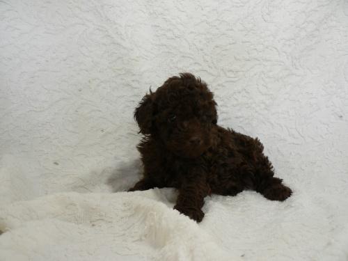 トイプードルの子犬(ID:1232911080)の3枚目の写真/更新日:2017-05-16