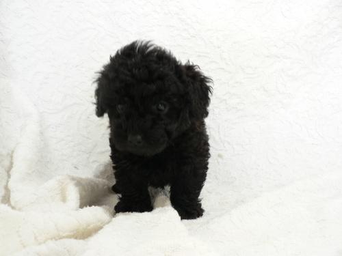 トイプードルの子犬(ID:1232911081)の2枚目の写真/更新日:2017-05-16