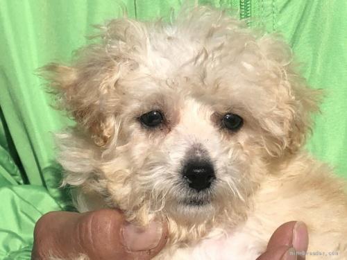 トイプードルの子犬(ID:1232911082)の1枚目の写真/更新日:2017-05-16