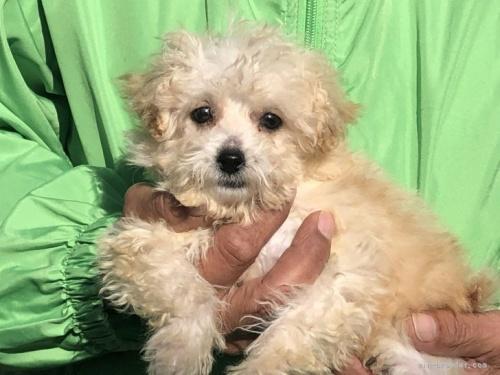 トイプードルの子犬(ID:1232911082)の2枚目の写真/更新日:2017-05-16