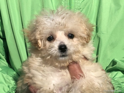 トイプードルの子犬(ID:1232911082)の3枚目の写真/更新日:2017-05-16