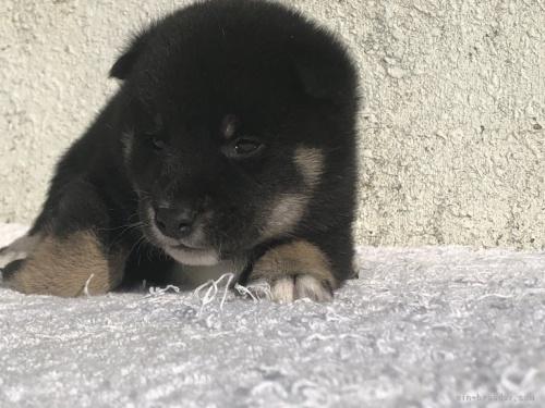 柴犬の子犬(ID:1232911084)の2枚目の写真/更新日:2017-06-10