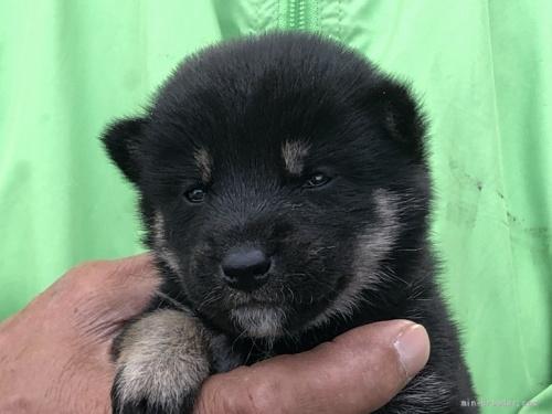 柴犬の子犬(ID:1232911086)の1枚目の写真/更新日:2017-06-16
