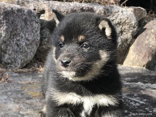 柴犬の子犬(ID:1232911088)の2枚目の写真/更新日:2017-09-27