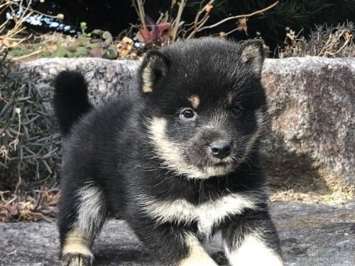 柴犬の子犬(ID:1232911088)の4枚目の写真/更新日:2017-09-27