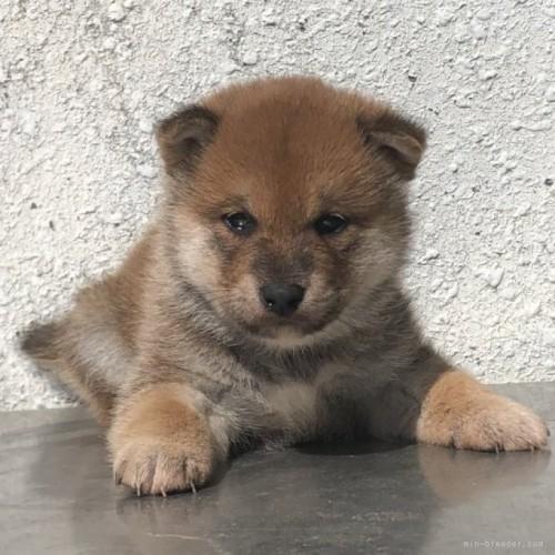 柴犬の子犬(ID:1232911089)の1枚目の写真/更新日:2017-10-15