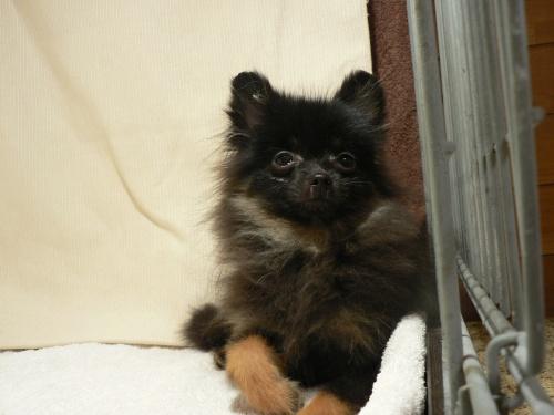 ポメラニアンの子犬(ID:1232911090)の1枚目の写真/更新日:2017-10-19