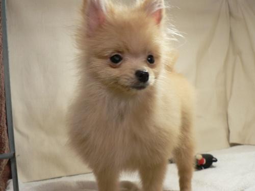 ポメラニアンの子犬(ID:1232911091)の1枚目の写真/更新日:2017-10-19