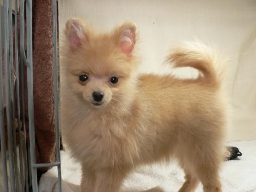 ポメラニアンの子犬(ID:1232911091)の3枚目の写真/更新日:2017-10-19