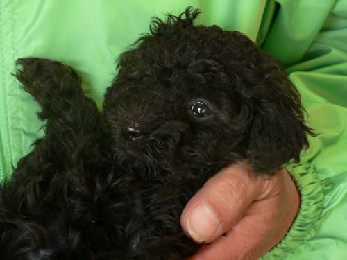 トイプードルの子犬(ID:1232911092)の2枚目の写真/更新日:2017-12-21
