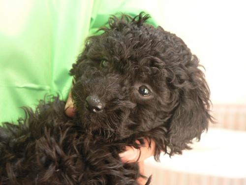トイプードルの子犬(ID:1232911092)の3枚目の写真/更新日:2017-12-21