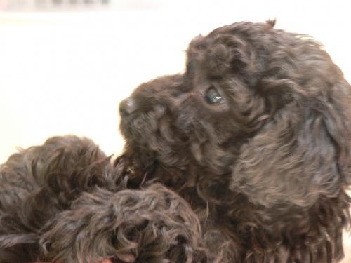 トイプードルの子犬(ID:1232911092)の4枚目の写真/更新日:2017-12-21