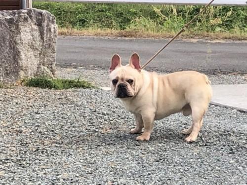 フレンチブルドッグの子犬(ID:1232911095)の1枚目の写真/更新日:2018-01-06
