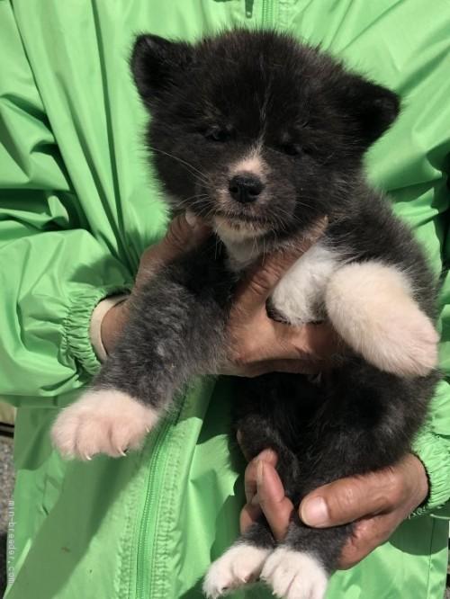 秋田犬の子犬(ID:1232911097)の1枚目の写真/更新日:2018-03-15