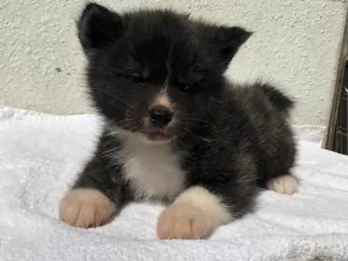 秋田犬の子犬(ID:1232911097)の2枚目の写真/更新日:2018-03-15