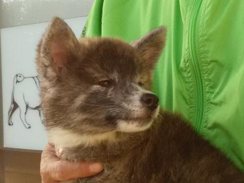 秋田犬の子犬(ID:1232911098)の1枚目の写真/更新日:2018-04-20