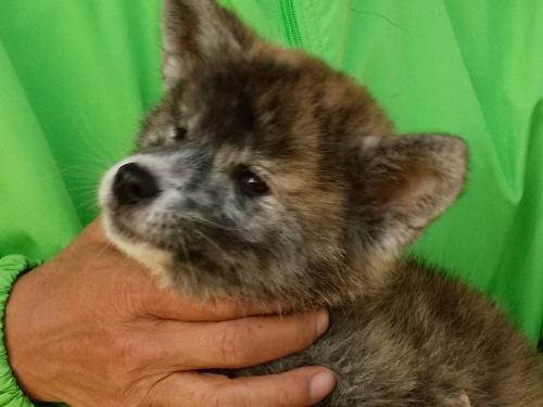 秋田犬の子犬(ID:1232911098)の2枚目の写真/更新日:2018-04-20