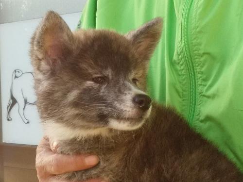 秋田犬の子犬(ID:1232911098)の3枚目の写真/更新日:2018-04-20