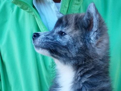 秋田犬の子犬(ID:1232911098)の5枚目の写真/更新日:2018-04-20