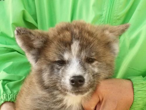 秋田犬の子犬(ID:1232911099)の1枚目の写真/更新日:2018-04-20
