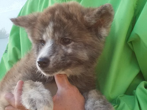 秋田犬の子犬(ID:1232911099)の2枚目の写真/更新日:2018-04-20