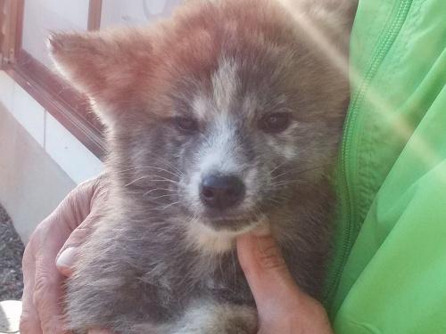 秋田犬の子犬(ID:1232911099)の4枚目の写真/更新日:2018-04-20