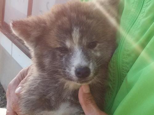 秋田犬の子犬(ID:1232911099)の5枚目の写真/更新日:2018-04-20