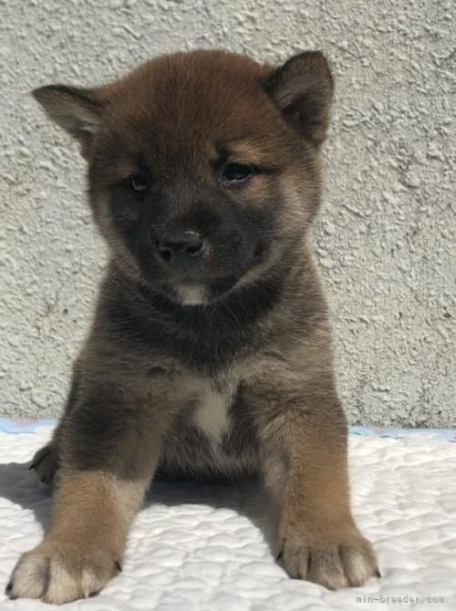 柴犬の子犬(ID:1232911100)の2枚目の写真/更新日:2018-04-20