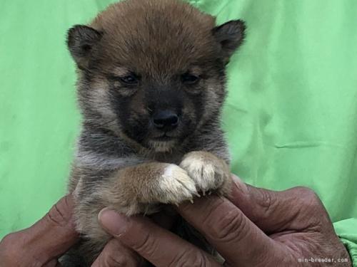 柴犬の子犬(ID:1232911101)の1枚目の写真/更新日:2018-04-20