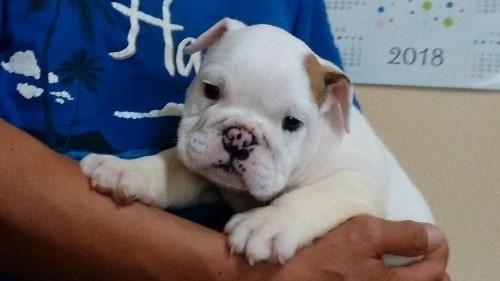 ブルドッグの子犬(ID:1232911103)の1枚目の写真/更新日:2018-05-31