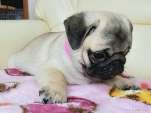 パグの子犬(ID:1232911107)の4枚目の写真/更新日:2021-08-29