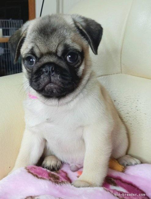 パグの子犬(ID:1232911107)の5枚目の写真/更新日:2021-08-29