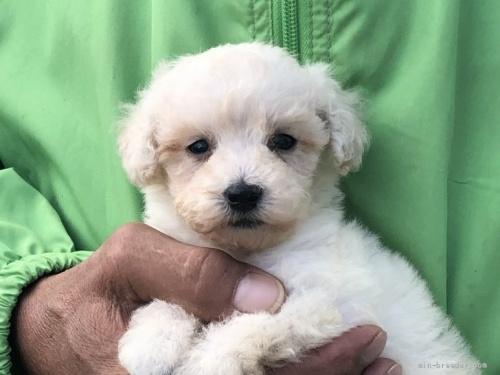 トイプードルの子犬(ID:1232911109)の1枚目の写真/更新日:2021-10-11
