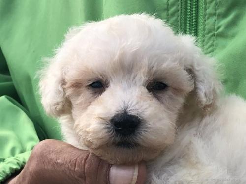 トイプードルの子犬(ID:1232911109)の2枚目の写真/更新日:2021-10-11