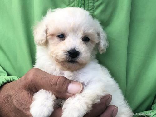 トイプードルの子犬(ID:1232911109)の3枚目の写真/更新日:2021-10-11