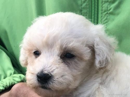 トイプードルの子犬(ID:1232911109)の4枚目の写真/更新日:2021-10-11