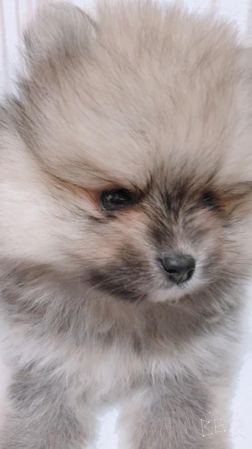 ポメラニアンの子犬(ID:1233611032)の1枚目の写真/更新日:2019-06-16
