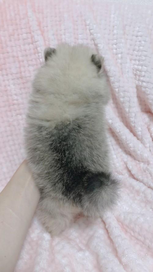 ポメラニアンの子犬(ID:1233611032)の2枚目の写真/更新日:2019-06-16