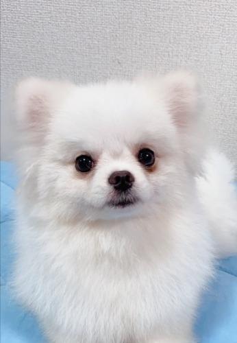 ポメラニアンの子犬(ID:1233611034)の1枚目の写真/更新日:2021-06-12