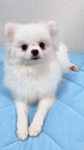 ポメラニアンの子犬(ID:1233611034)の2枚目の写真/更新日:2021-06-12
